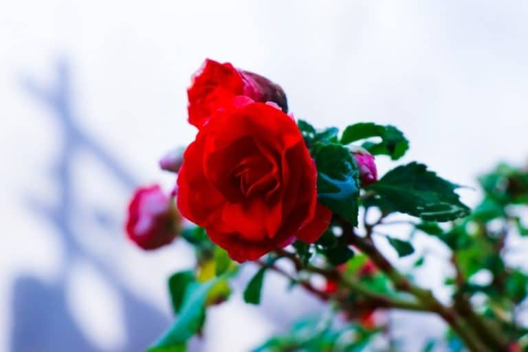11 Best Rose Fertilizers And When To Apply Rose Food