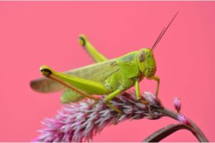 pictire of closeup grasshopper with pink background