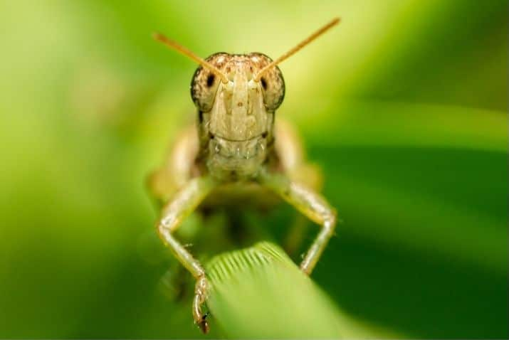 grasshoppers looking at camera